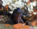 this is a Blue Blenny taken with a macto lens and single strobe
