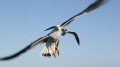 Pacific Gull, Abrolhos Islands.