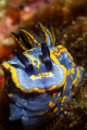 Full frontal nudi. A large Felimare fontandraui posing in Sesimbra only 5m deep. Shot using Canon EOS 350D in Ikelite housing, Canon 100mm macro, Nikonos SB-105 strobe.