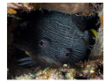 Splendid Toadfish showing its teeth