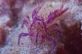 Pink squat lobster Seraya Bali