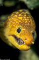 hi there ! (Enchelycore anatina, Syria)