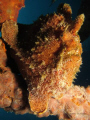 Frogfish sat on a wreck in Bali - Canon S90 Compact no add on lens.