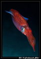 A very fast squid (Loligo vulgaris).
