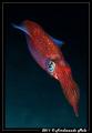 A very fast squid (Loligo vulgaris).