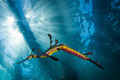 Weedy seadragon with eggs. ISO 100, 1/200 sec, Tokina 17mm...