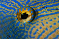 Close up of a Black Durgon Triggerfish eye