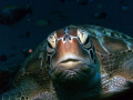 Tortue verte- Green sea turtle - 