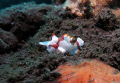 Poisson-crapaud - Clown-Frogfish