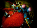Mantis Shrimp with Egg Clutch