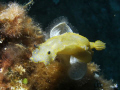 Doris gante  - Giant doris -
