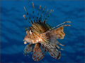 I spent a fascinating hour or so with a group of lionfish as they glided over a large bommie. I wanted a crisp portrait with a clean blue background