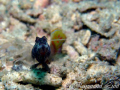This Shrimp Goby was waiting for his photo shoots one after another.(A Shrimp was out of focus in this pic)