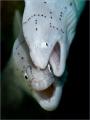 Grey morays