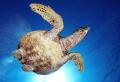Turtle dive