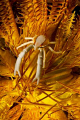 A Squat Lobster on a yellow Chrinoid.