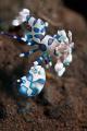 KILL Harlequin Shrimp Seraya Bali