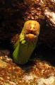 this is a photo taken of a Yellow Moray up close.