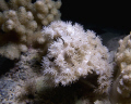 Delicate corals at night