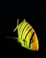 yellow zebra :)