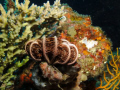 Comatule  - Crinoids, marine animals that make up the class Crinoidea.