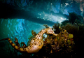 This pot bellied seahorse (Hippocampus abdominalis) was swimming around the top of the pier on a dive recently. It was a remarkably inquisitive seahorse - this shot was taken with a Tokina 10-17mm wide angle lens.