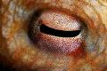 Eye of octopus.