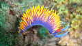 Spanish Shawl Nudibranch at Point Dume, Malibu.