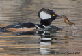 Hooded Merganser Drake feeding on crayfish