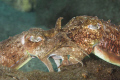 Mating Cuttlefish