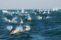 daily cavalcade during sardine-run (south Africa)