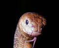 Olive sea snake.
