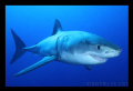 White Shark at Isle De Guadalupe Sept 2011