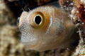 Little blenny, 100mm + stacked lense  +10 subsee and +6 inon