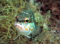 This example of gozo fish life was photographed in only 3 metres of water