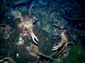 These 2 channel crabs look like they are fixing to see who's the fastest claw on the reef.