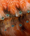 Eyes of Scallop super close