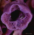 Purple turret- sponge with bubble reflection of diver, Atlantic ocean, Hout bay, Cape Town , South Africa