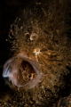 hairy frog fish yawn