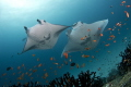 Magnificent Mantas