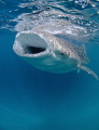 A shot of a whale shark feeding during a recent trip to Djibouti.