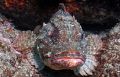 Scorpion fish taken close up at Hahei New Zealand