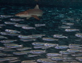 Blacktip Shark in the thick of the action Hunting - Amazing experience!