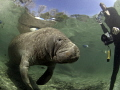 Manatee at Crystal River being photographed by fans.