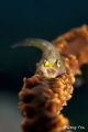 whip goby