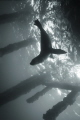 Sea Lion Silhouette, Just under Rye pier on Mornington peninsula, there are a couple of Australian Fur seal pups who've made their home & show their cheeky side by taking fish and squid from the fishermen!  Canon S90 w INON UFL165, 1/400 F2.2 ISO80