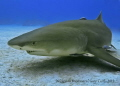 Laying on the Sand,last dive of the trip at Sharks Paradise,The Lemon Sharks come to inspect...