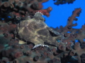 Frogfish in laying on Staghorn Coral,Flic en Flac,Mauritius ,Canon G1O