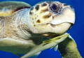 Caretta sea turtle hosting a remora fish.