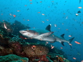 a reef shark in Komodo
